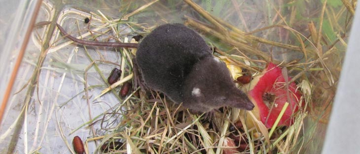 A Water shrew